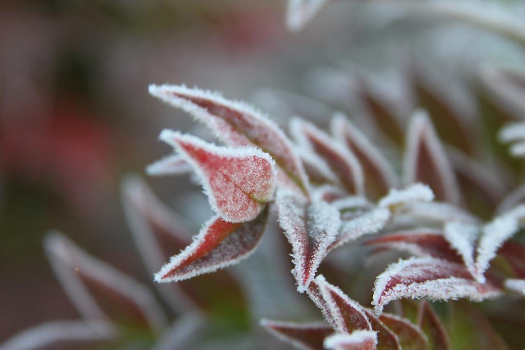 frozen red 4