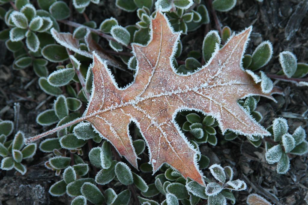 fallen leaf frozen