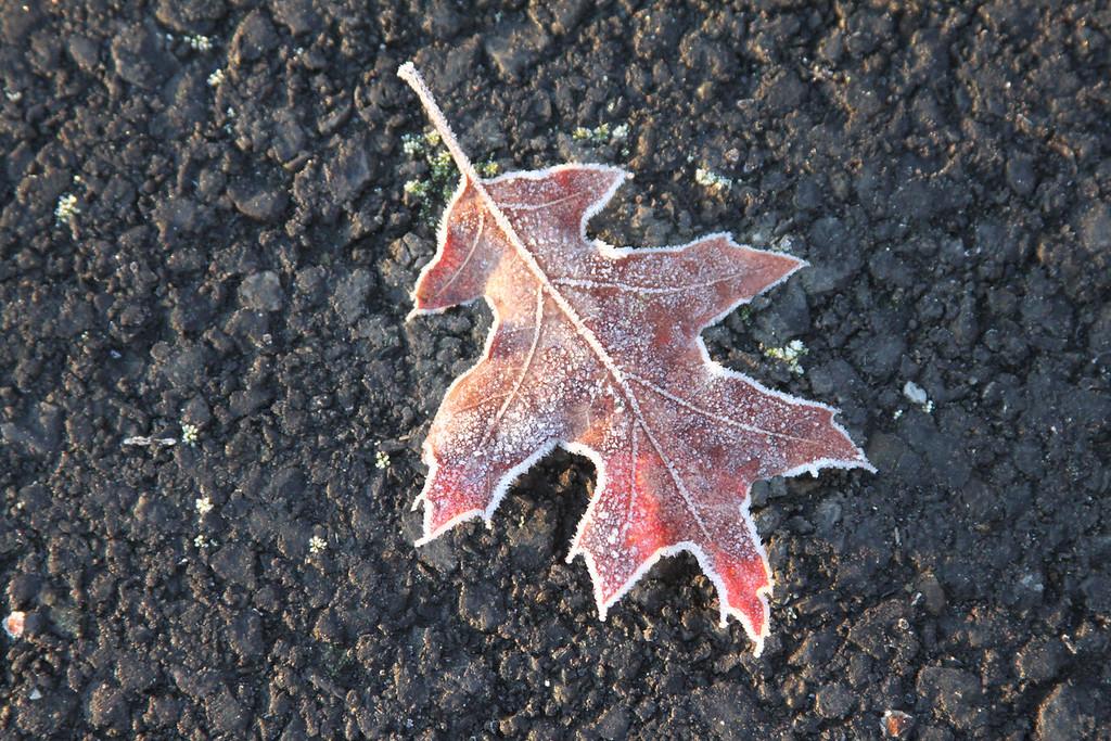 frozen leaf fallen