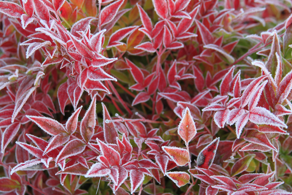frozen red 5