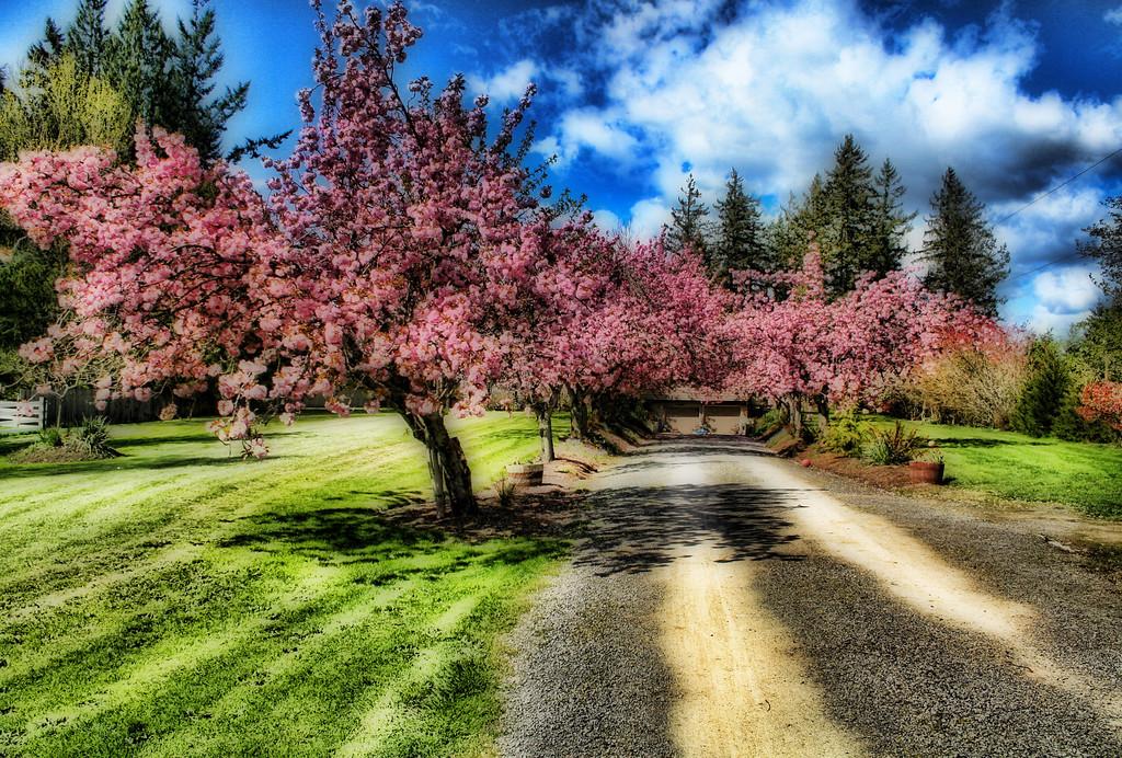 Cherry Tree Driveway Spring