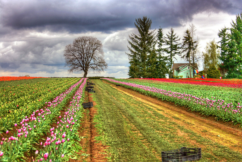 Picking day- Tulip Fields