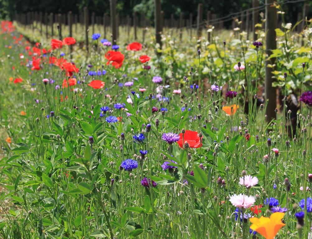 Wildflowers at the vineyard