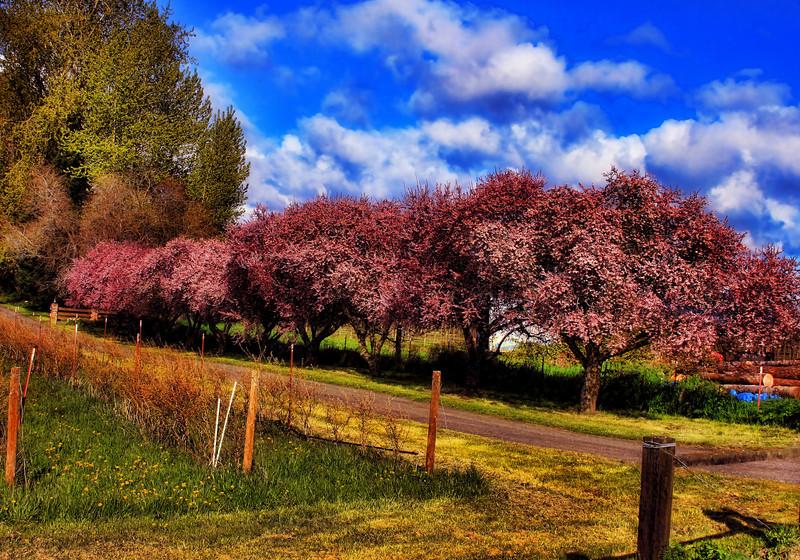 SpringBlossoms Orton