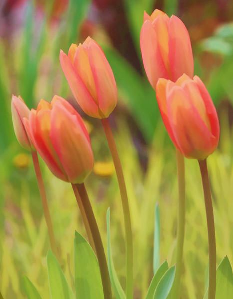 TulipsWC