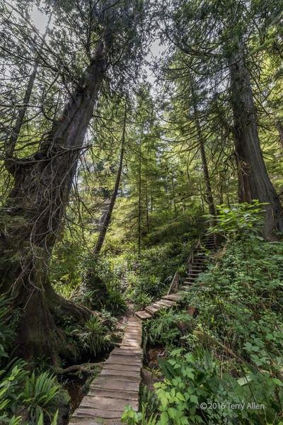 Boardwalk-with-huge-Western-red-cedar-trees,-Meares-Island,-British-Columbia