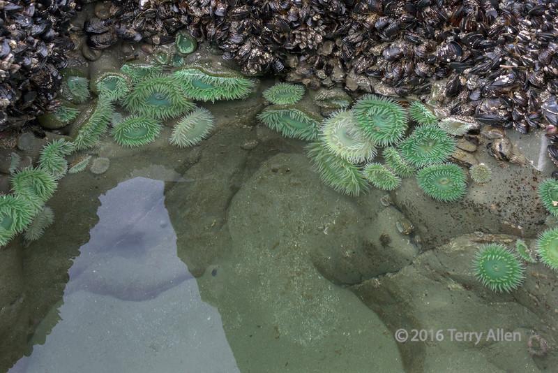 Reflecting-pool-with-green-anemones,-Chesterman-Beach,-Tofino,-British-Columbia