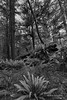 Rain-forest-scene-with-deadfall,-mosses-and-ferns,-BW,-Pacific-Rim-National-Park,-Tofino,-British-Columbia
