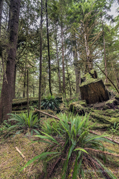 Old-stump-of-a-logged-tree-with-ferns,-deadfalls-and-mosses,-Pacific-Rim-National-Park,-Tofino,-British-Columbia