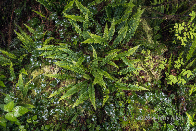 Forest-floor-on-a-rainy-day-with-ferns-and-mosses,-Pacific-Rim-National-Park,-Loop-B,-Tofino,-British-Columbia