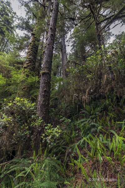 North-temperate-rainforest-with-ferns-and-mosses,-Pacific-Rim-National-Park,-Rainforest-Trail-Loop-A,-Tofino,-British-Columbia