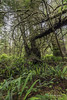 Rainforest-with-moss-covered-hanging-deadfall-and-ferns,-Pacific-Rim-National-Park,-Tofino,-British-Columbia