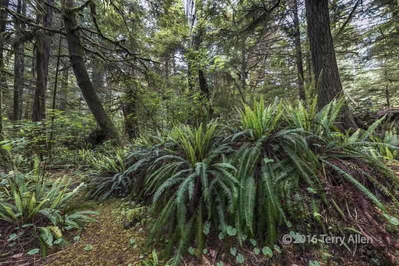 Nurse-log-covered-with-ferns,-Pacific-Rim-National-Park,-Tofino,-British-Columbia