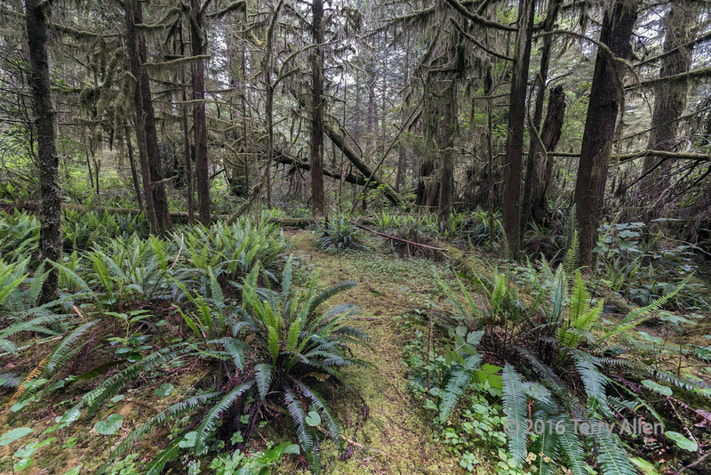 A-path-through-the-woods-with-ferns-and-cat-tail-mosses,-Pacific-Rim-National-Park,-Tofino,-British-Columbia