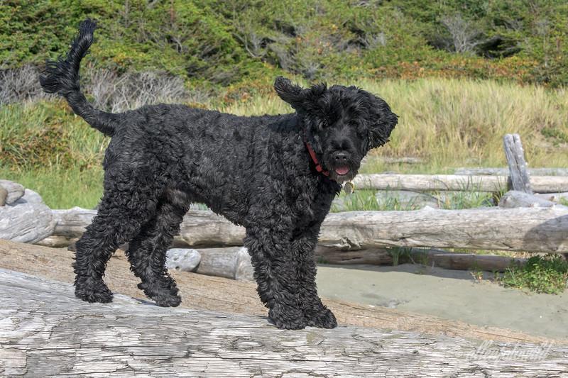 Fun-at-the-beach,-Portuguese-Water-Dog-at-Long-Beach,-Tofino,-British-Columbia