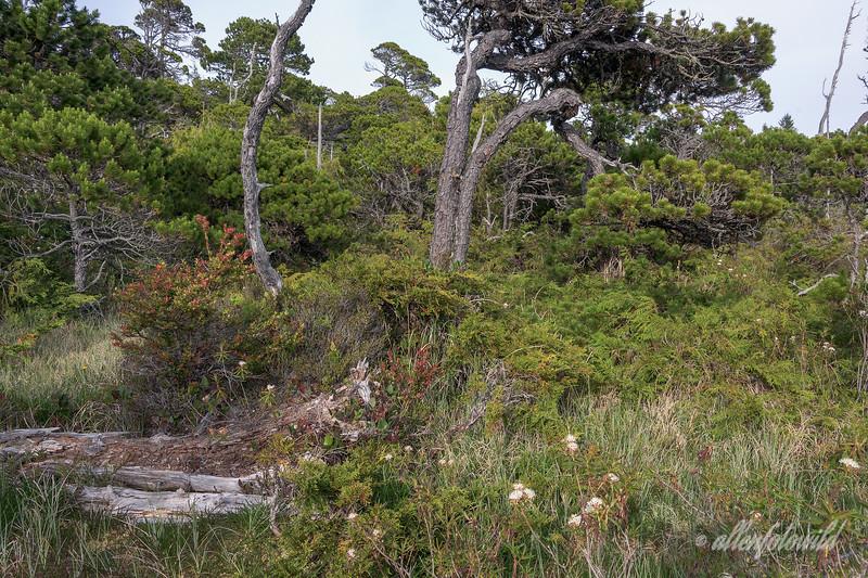 Shore-Pine-trees,-Pacific-Northwest-bog-ecosystem,-Bog-Trail,-Pacific-Rim-National-Park,-Tofino,-British-Columbia