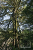 Moss festooned tree, Little Qualicum Falls Provincial Park, Vancouver Island, British Columba
