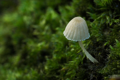 Mycena_corynephora_Poedermycena_00900b_JD_RE61015AG
