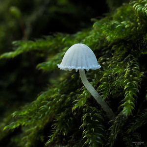 Mycena_corynephora_Poedermycena_00899c_JD_RE61015AG