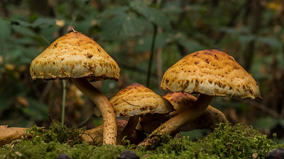Pholiota_sp_bundelzwam_JC00935c_JD_HD11018AG