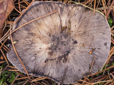 Tricholoma_portentosum_Glanzende_ridderzwam_JC15156c_JD_LSA1116AG