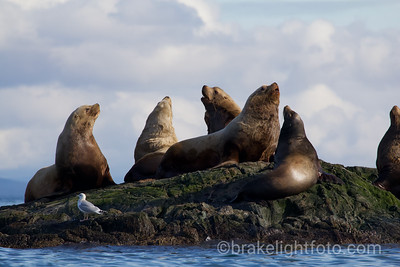 Sea lions Off Discovery Island