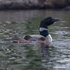 Loon with chicks...
