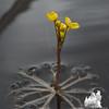 … just like at home on the Powow- Common Bladderwort (Utricularia macrorhiza)