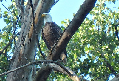 Bald Eagle - we saw  a number of them [Drew photo.]