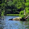 Turtles on Trap Pond