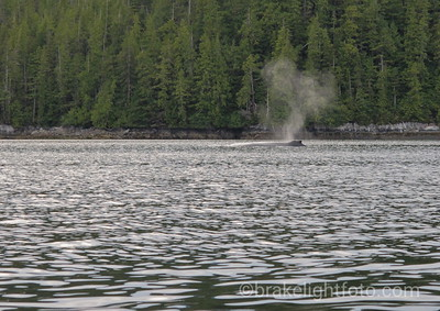 Humpback in Meyer's Passage