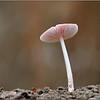 Heksenschermpje - Mycena rosea