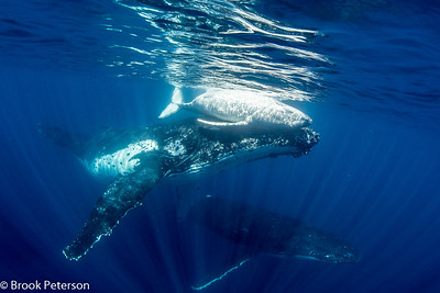 Playful Mother Humpback