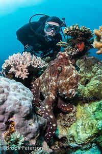 Diver observing Octopus
