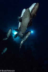 Spawning Grouper