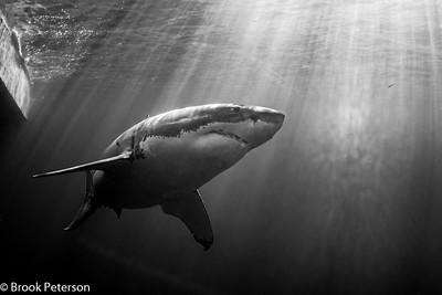 Dramatic Shark