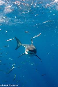 White Shark Smile