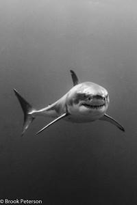 Approaching Shark