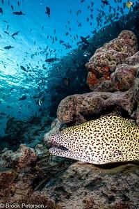 Honeycomb Eel and Fish