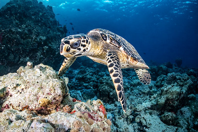 Hawksbill Turtle Over a Reef