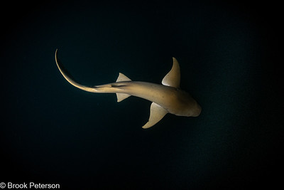 Shark at Night