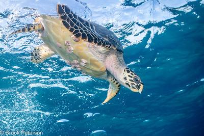 Barnacle Turtle