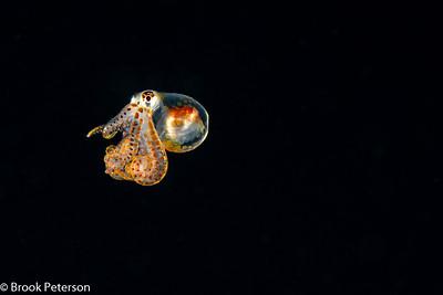 A Long Arm Octopus