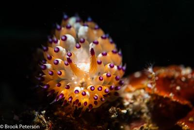 Janolus Nudibranch