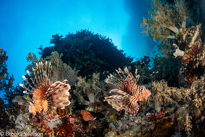Lionfish Pair