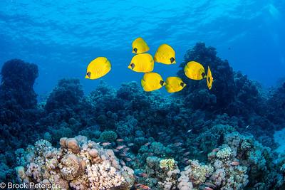 Butterfly Fish School