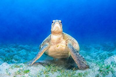 Green Sea Turtle Portrait