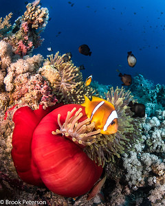 Anemone Fish in a Red House