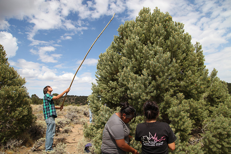 Western Shoshone students harvest pine nuts in the Reese River Valley in Central Nevada as part of a youth program outing promoting cultural activities.