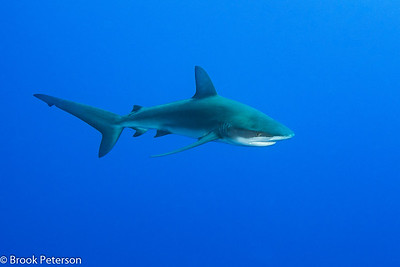 Galapagos Shark Cruising